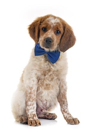 puppy brittany spaniel in front of white background Reklamní fotografie - 102674655