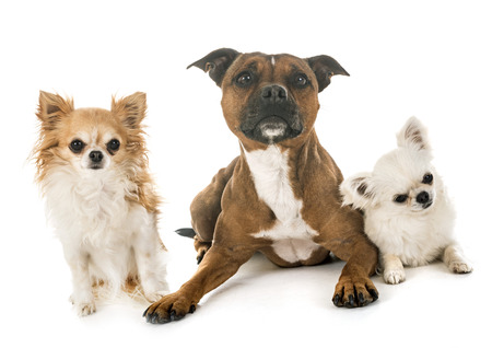 Stafford shire bull terrier and chihuahuas in front of white background