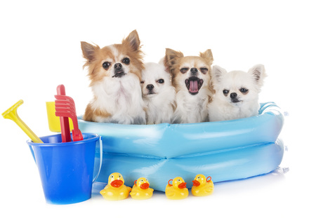 chihuahuas in holidays in front of white background Banque d'images