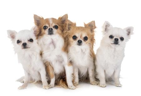 quatre chihuahuas devant fond blanc