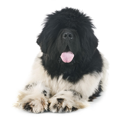 newfoundland dog in front of white background Banque d'images - 103331795