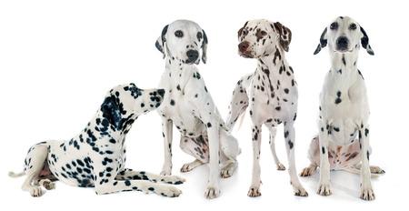 four dalmatian in front of white background Stockfoto