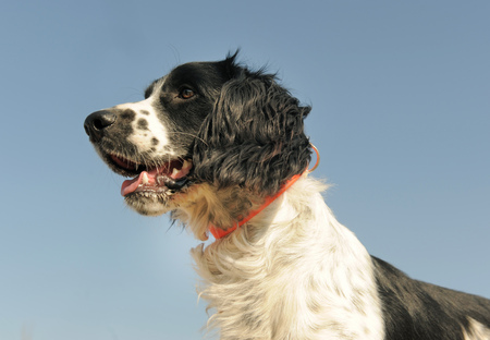 head of a french spaniel on a blue sky 写真素材