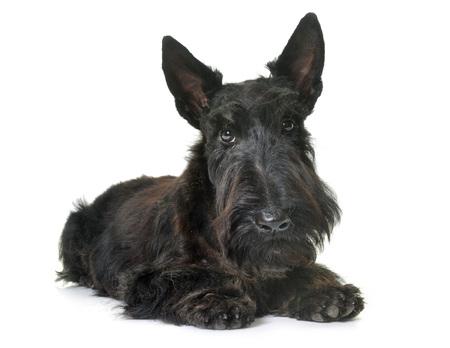 puppy scottish terrier in front of white background 版權商用圖片
