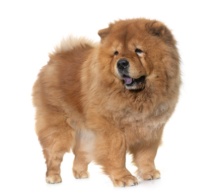 chow chow dog in front of white background 写真素材