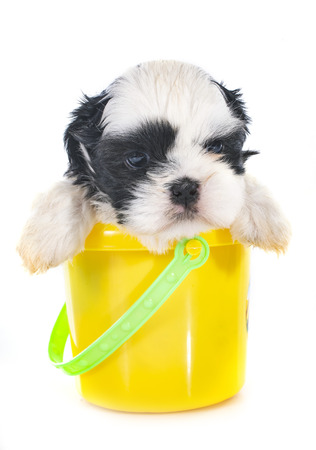 puppy shih tzu in front of white background Banco de Imagens - 104222573