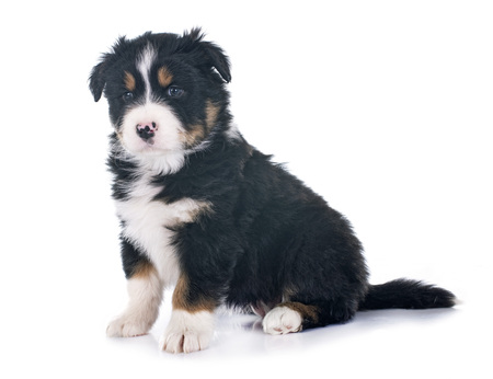 puppy  australian shepherd  in front of white background Banque d'images - 104222597
