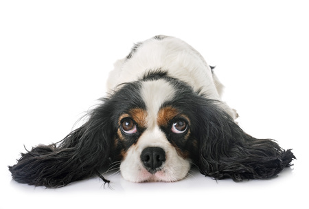 cavalier king charles in front of white background Imagens