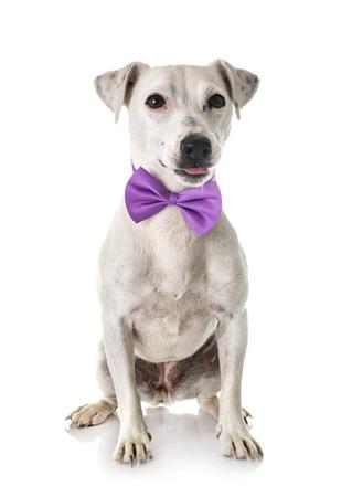 jack russel terrier in front of white background Foto de archivo