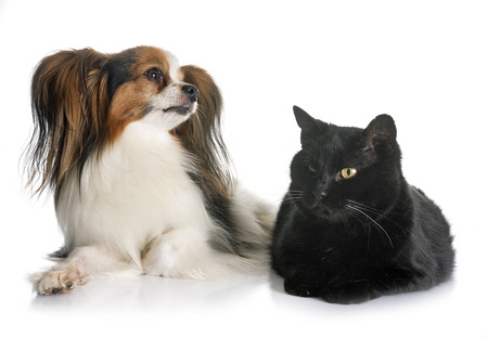 papillon dog and cat in front of white background 版權商用圖片