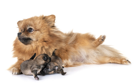 new born pomeranian and mother  in front of white background