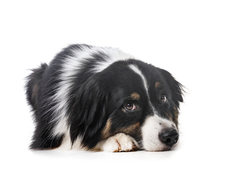 australian shepherd in front of white background Banque d'images - 106183689