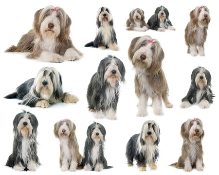 composite picture of bearded collie in front of white background 免版税图像
