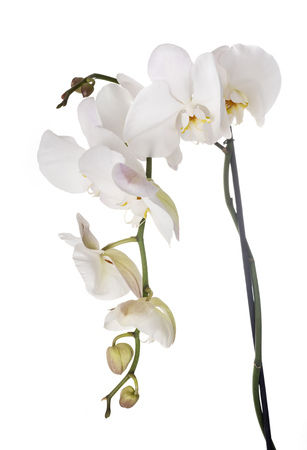 moth orchids in front of white background Stock Photo