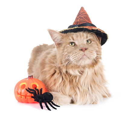maine coon cat and halloween in front of white background Stock Photo