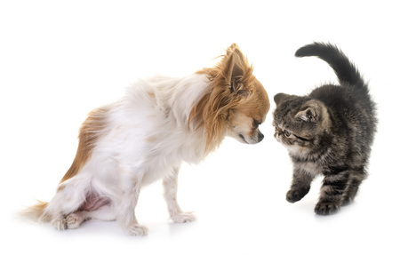 kitten exotic shorthair and chihuahua in front of white background