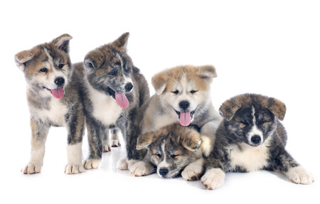 puppies akita inu in front of white background