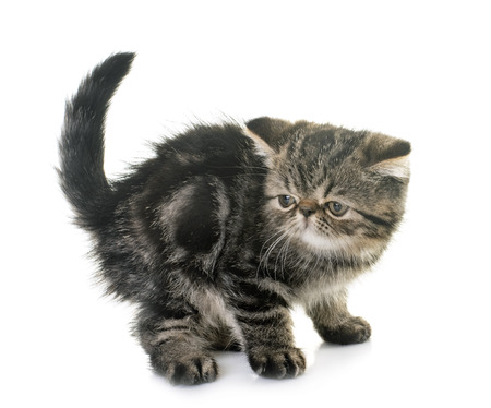 kitten exotic shorthair in front of white background Stock Photo