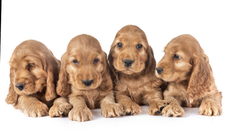 puppies cocker spaniel in front of white background Stock Photo