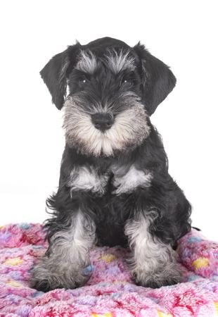 puppy miniature schnauzer in front of white background Archivio Fotografico