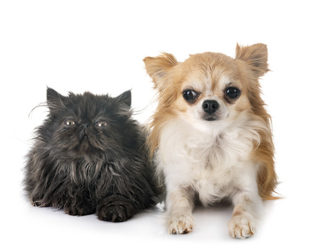 persian kitten and chihuahua in front of white background