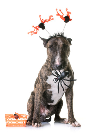 bull terrier and halloween in front of white background