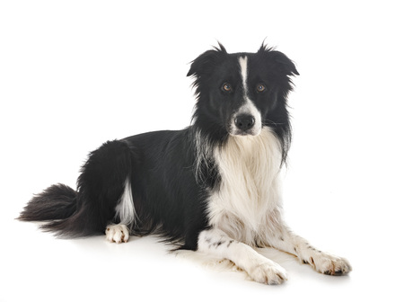 border collie in front of white background Banque d'images