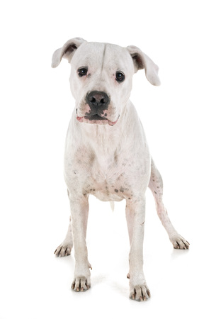 argentinian dog in front of white background Stockfoto