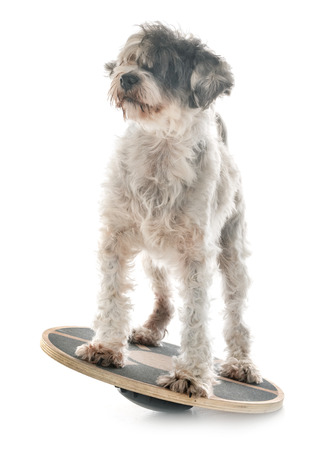 old tibetan terrier in front of white background Stock Photo