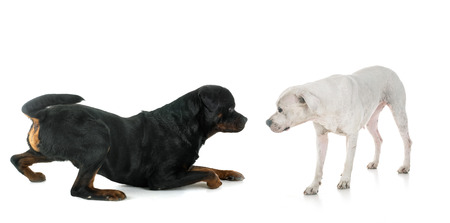 crawling rottweiler and dogo in front of white background Stock Photo