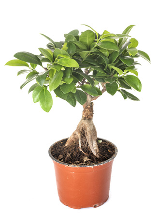 Ficus benjamina plant in front of white background