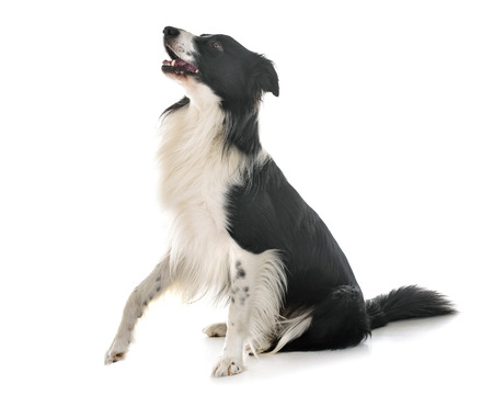 border collie in front of white background Stock fotó