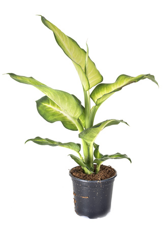 Dieffenbachia plant in front of white background