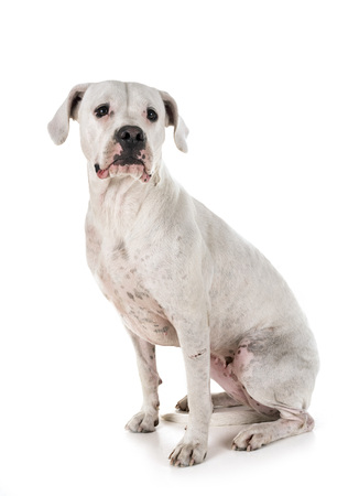 argentinian dog in front of white background Stock Photo