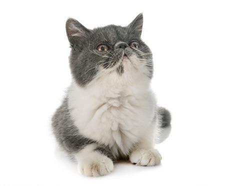 exotic shorthair kitten in front of white background
