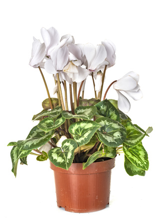 Cyclamen plant in front of white background Stock Photo