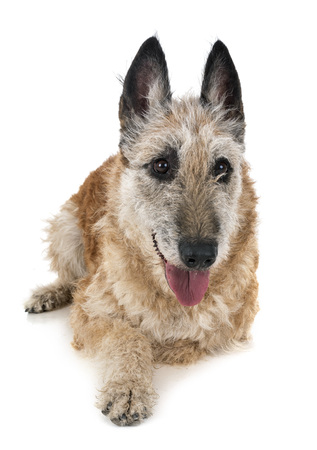 belgian shepherd laekenois in front of white background Stock Photo - 109394682