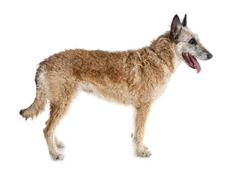 belgian shepherd laekenois in front of white background