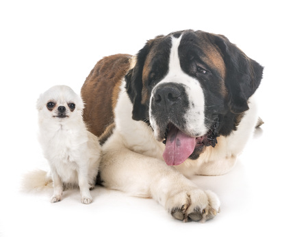 saint bernard and chihuahua in front of  white background