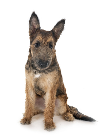puppy belgian shepherd laekenois in front of white background Banque d'images