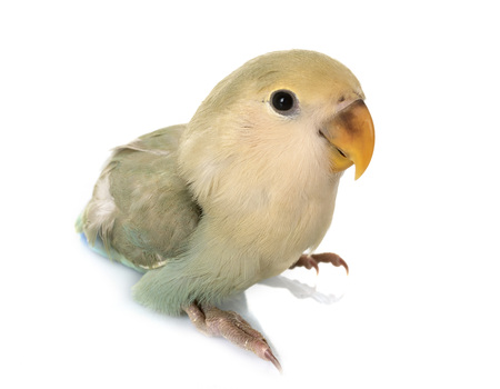 blue Lovebird in front of white background Stock Photo