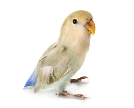 blue Lovebird in front of white background Stockfoto