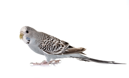 young Budgerigar in front of white background Stock Photo