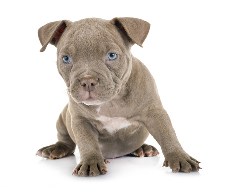 puppy american bully in front of white background Фото со стока