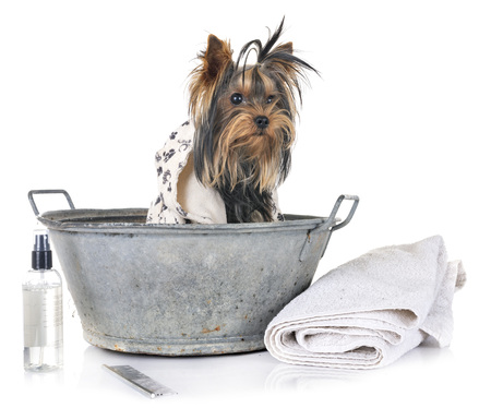 young yorkshire terrier and bath in front of white background