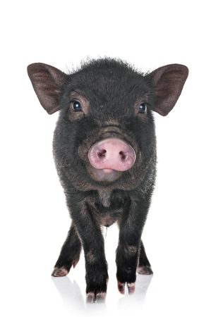 vietnamese pig in front of white background