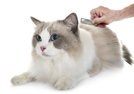 ragdoll cat in front of white background