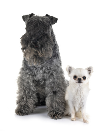 Kerry Blue Terrier and chihuahua in front of white background Stock Photo