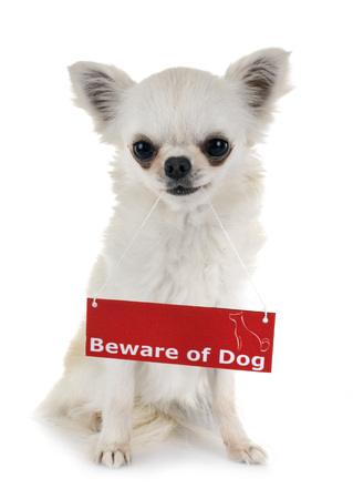 little dog and board in front of white background