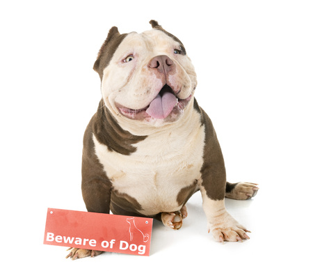 american bully and board in front of white background Stock Photo